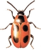 Endomychus