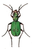 Field_Tiger_Beetle