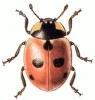 Five_Spot_Ladybird