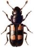 Glischrochilus