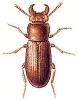 Gnatocerus