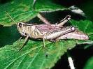 Grasshopper_4