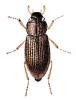 Helophorus