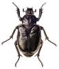 Hermit_Beetle