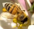 honey_Bee_close
