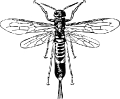 horn_tail_wasp