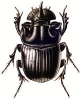 Horned_Dung_Beetle
