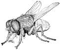 housefly_2
