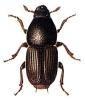 Large_Elm_Bark_Beetle