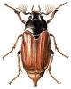 May_Beetle