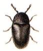 Mesocoelopus