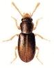 Myrmechixenus