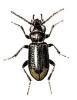 Notiophilus