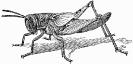 Nymph_of_Locust