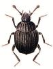 Onthopilus