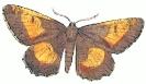 orange_moth__Angorona_prunaria