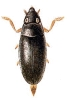 Orectochilus
