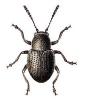 Pachnephorus