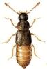 Phloeonomus