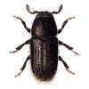 Phloeophthorus