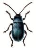Phyllodecta