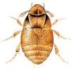 Platypsyllus
