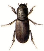 Pleurophorus
