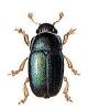 Pollen_Beetle