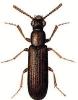 Powder-post_Beetle