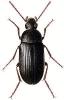 Prionychus