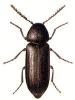 Pseudoptilinus