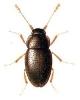 Ptenidium