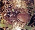 Purse_Web_Spider
