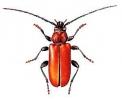 Pyrrhidium