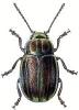 Rainbow_Leaf_Beetle