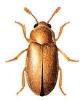 Raspberry_Beetle
