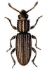 Saw-toothed_Grain_Beetle