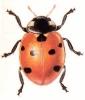 Seven_Spot_Ladybird