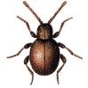 Sphaericus