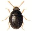 Sphaerosoma