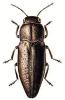 Sphenoptera