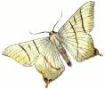 swallow_tailed_moth__Ouraptern_sambucaria