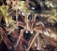 Swamp_Spider