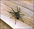 tarantula_2