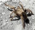 tarantula_3