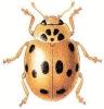 Ten_Spot_Ladybird