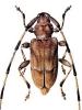 Timberman_Beetle