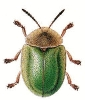 Tortoise_Beetle