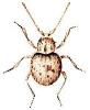 Trigonogenius