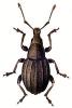 Trophiphorus